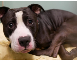 Family Dumps Pit Bull At Shelter To 'Make Room' For New Baby
