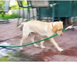Puppy Caught Trying To Fill Pool, Her Clumsy Efforts Deserve Standing Ovation