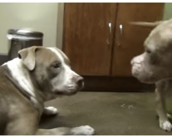 2 Abused Pit Bulls Are Put In Same Room, Rescuers Can't Get Over What Develops