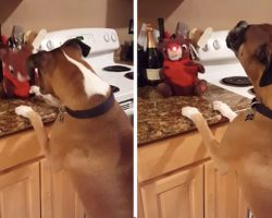 Adorable Boxer Sings Along to 'Rudolph the Red-Nosed Reindeer'