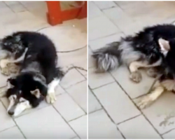 Police Find Missing Husky, Confirm His Identity When He Sings His Favorite Song