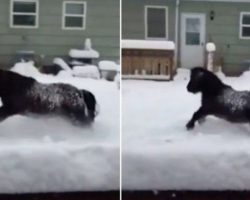 13 Year Old Miniature Horse Is In Love With Snow. When He Goes Outside, His Reaction Is Priceless!