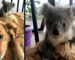 Golden Retriever Comes Home With A Baby Koala Whose Life She Just Saved