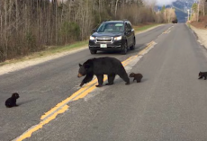 Baby Bear Can't Keep Up With Family Crossing The Road, So A Cop Tries To Help