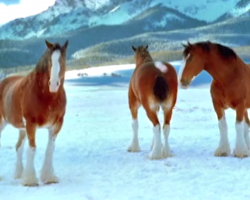 Clydesdales Show Why They Should Never Be Messed With In Snowball Fights