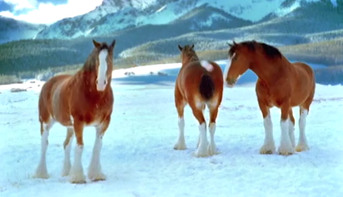 Clydesdale Horses Start A Snowball Fight One Horse Shows Who S Boss