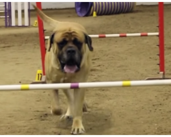 Giant Mastiff Dog Slowly Does His Bare Minimum At Agility Course