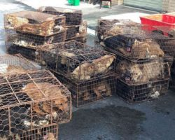 200 Dogs Crammed Into Cages On Way To Be Slaughtered Had Miraculous Twist Of Fate
