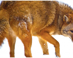 A New Species Is Evolving- A Mix Of Wolf, Coyote And Dog