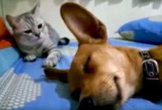 Sleeping Dog's Fart Startles The Cat, So She Retaliates In Hilarious Fashion