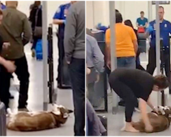 Stubborn Husky Refuses To Go Through Security, Holds Up Line At Airport