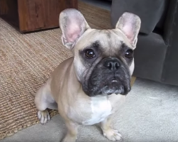 French Bulldog Pup Uses English To Express His Feelings For Mom