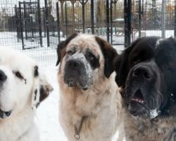 Inseparable Saint Bernard Trio Dumped At Shelter—Now, They're Looking For Their Forever Home