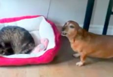Cat Steals This Dog's Bed, Poor Dog's Reaction Has Us Rolling With Laughter