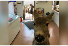 Deer Drops By Store and Surprises Owner When She Returns With Her Entire Family