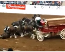 Clydesdale Horses Collapse During Arena Show, Their Comeback Is Breathtaking