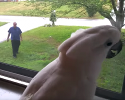 Cockatoo Sees Dad Coming Home From Work, And It's The Best Part Of Their Day