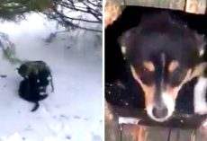 Dog drags cat through heavy snow, but it's his intentions that make him a hero