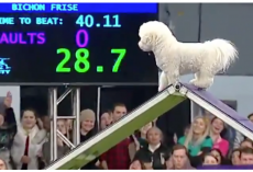 Distracted Dog Runs Westminster Agility Course in Slow Motion, Crowd Goes Wild