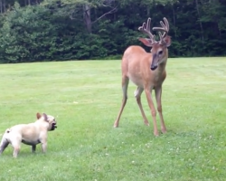 French Bulldog Faces Off With A Buck, And Then They Really Go At It