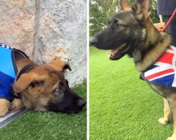 Police Dog Let Go For Being Too Sweet, Ends Up With The Coolest New Job Instead