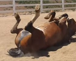 When You See Why This Horse Is Rubbing Himself On the Ground, You'll Laugh Out Loud!