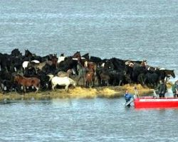 200 Horses Stuck On Tiny Island Due To Storm, Workers Attempt Incredible Rescue