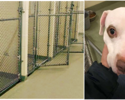 The Kennels Emptied As They All Got Adopted Except For A Sad Lonely Pit Bull