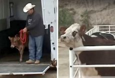 Abused cow was finally rescued, but kept crying until she saw next rescue van