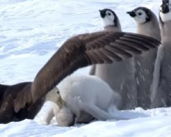 Penguin chicks scream in terror as giant bird attacks, but a hero saves the day