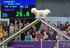 Winky The Bichon Frise Takes His Good Old Time Running The Agility Course