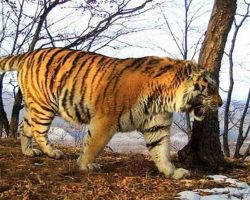 Wounded Tiger Defies His Instincts, Comes Out Of Wild To Ask Humans For Help