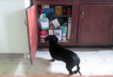 Sneaky Dog Stealing Snacks From Kitchen Cabinet Gets Caught In The Act