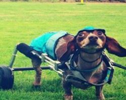 Disabled Dachshund Proves Dogs With Disabilities Are Winners! And Melts Everyone's Hearts In The Process!