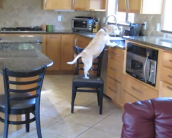 See how genius dog hatches amazing plan to steal chicken nuggets from kitchen counter