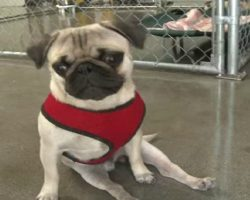 This Is The Amazing Story Of Pepe The Paralyzed Pug. He Didn't Let His Disability Slow Him Down!