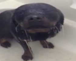 This Rottweiler LOVES His Shower! Too Funny!