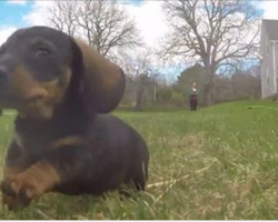 Dachshund Puppies Happily Explore And Play