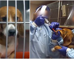 36 Beagles Are Being Force-Fed Chemicals At A Laboratory For A One-Year Test