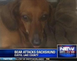 Bear cornered family in their garage, but Daisy the Dachshund knew what she had to do