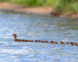 Nature Photographer Strikes Gold, Films 'Super Mom' Duck Towing 76 Ducklings