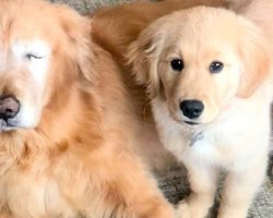 """Golden Retriever Loses Both His Eyes, Gets His Own """"Seeing-Eye"""" Puppy"""