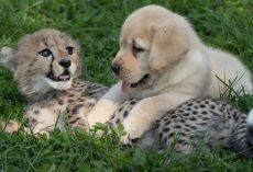 Labrador Puppy Hugs Recovering Cheetah Cub As He Helps Nurse Him Back To Health
