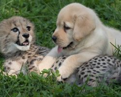 Labrador Puppy Hugs Recovering Cheetah Cub As He Helps Nurse Him Back To Health