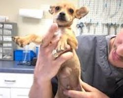 Chihuahua Puppy With Hernia Was Going To Be Put Down Until This Vet Saved Him