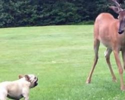 FEARLESS Little French Bulldog Named Ellie-Mae Meets A Buck!