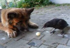 A German Shepherd and a Crow Playing Fetch Will Make Your Day