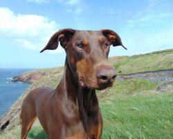 16 Reasons Dobermans Are Not The Friendly Dogs Everyone Says They Are