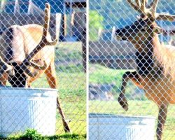 Elk Kept Dunking His Head In The Water, Anxious Zoo Staff Start Filming His Actions
