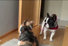 Playful French Bulldog Trying Hard To Get His Friend To Play! Hilarious!